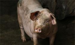 2019年中国养猪行业市场现状及发展新葡萄京娱乐场手机版 预计四季度产能下降局面将得到改善