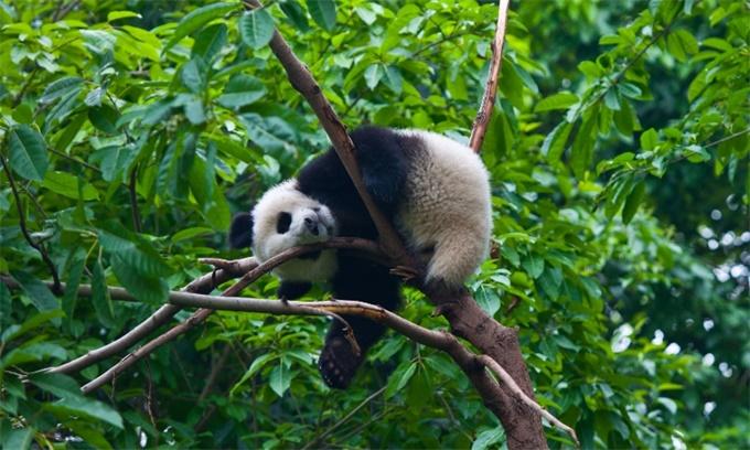 爬树憨憨!秦岭主峰5年来首现野生大熊猫 遇人迅速爬上身边大树扭头观望