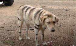 沙雕!印度农民烦透了猴子破坏庄稼 决定把狗画成老虎的样子……