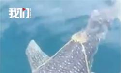通人性!鲸鲨被绳困住主动向渔民求助 网友:成精了