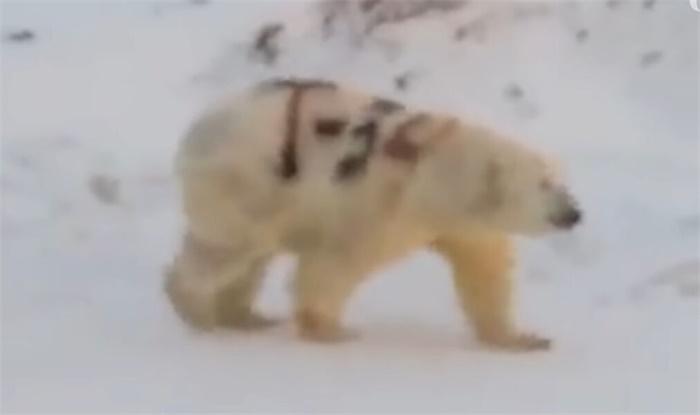 北极熊身上被涂