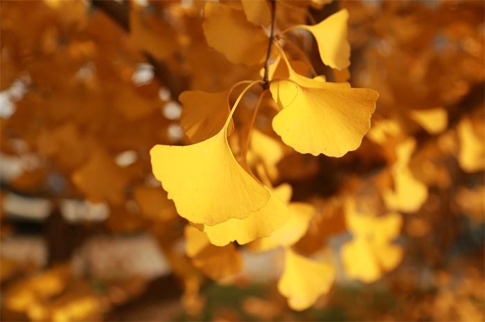 """银杏树活千年的秘密被解开:原来有""""盔甲""""护身"""