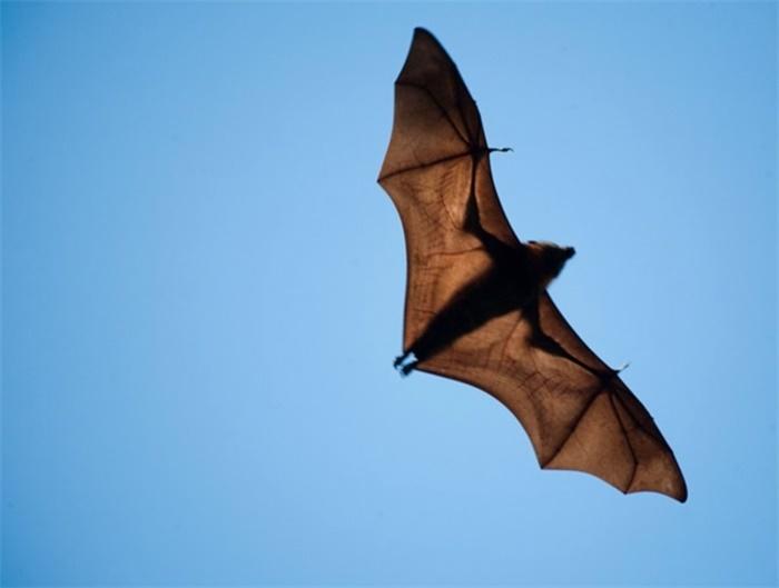 首次在蝙蝠体内发现6种全新的冠状病毒,但与新