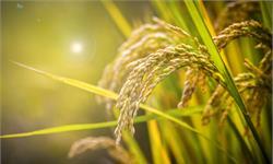越南禁止大米出口,全球粮食安全会遭到重大威胁吗?