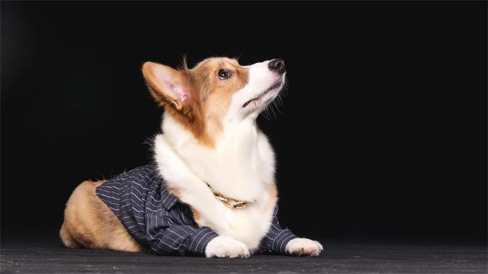 """网红萌犬!俄罗斯唯一一只柯基警犬退休 曾凭借高超技能在警界""""出圈"""""""