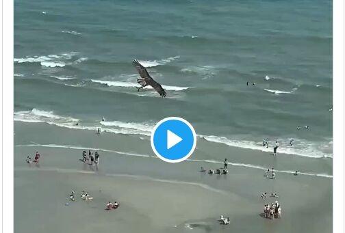 巨大老鹰从海中抓起一头鲨鱼