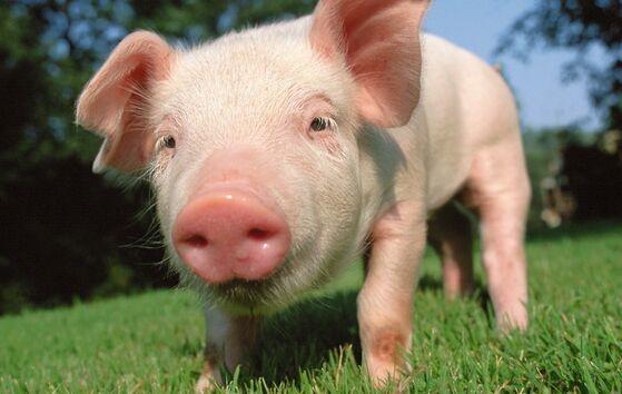 巴西发现猪流感新变种已有人感染