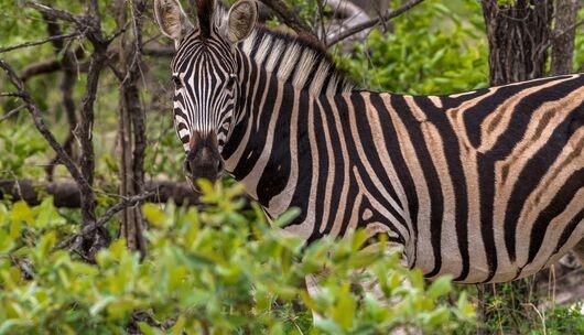 颠覆认知!比起掠食者,大型食草动物更有可能灭绝!