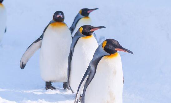 从太空中捕捉到便便照,科学家找到了一群藏得极深的帝企鹅