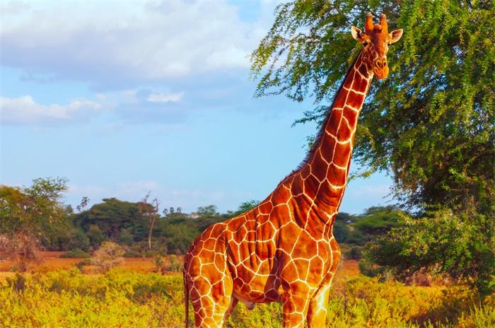 长得越高越容易遭雷劈?南非两只长颈鹿被雷击后死亡,同伴无辜受牵连