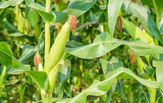 中国玉米亩产纪录刷新