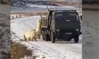 心痛!因冰川消融饥饿北极熊打劫垃圾车 去年56只北极熊组团找吃的