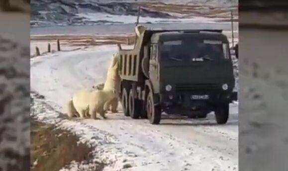 因冰川消融饥饿北极熊打劫垃圾车