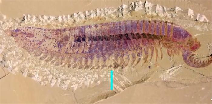学者发现5亿多年前四不像动物:长着5只眼睛,像古代神话中的麒麟