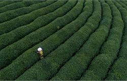雅安市建设藏茶产业现代农业园区 擎起雨城现代农业高质量发展大旗