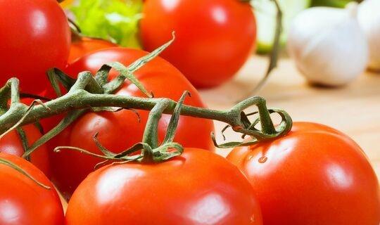 成精了!当受到昆虫攻击时,番茄果实会向植株的其它部位发出电子警告
