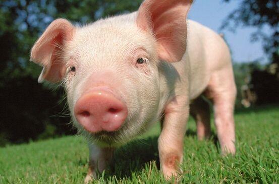重磅!证监会:2021年1月8日,生猪期货将正式挂牌交易