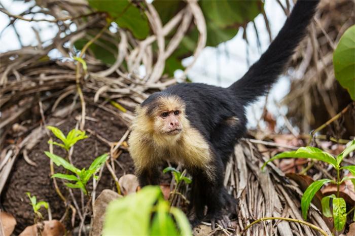 粪便DNA提取获突破!一项卷尾猴基因组研究