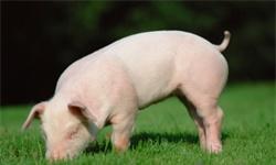 华为高管回应涉足养猪传闻 不养猪而是赋能企业养好猪