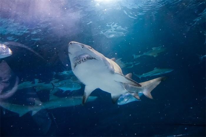 """鲨鱼肠道就像一个""""天然""""的特斯拉阀门,能推动液体单向流动且节省耗能"""