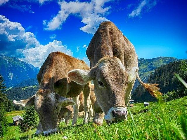 越驯化脑子越小!研究显示:家牛的大脑,比野生牛种小了25%