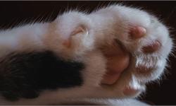 不要给猫咪除爪!否则它将痛苦终生,你家的地毯床单也将全是便便
