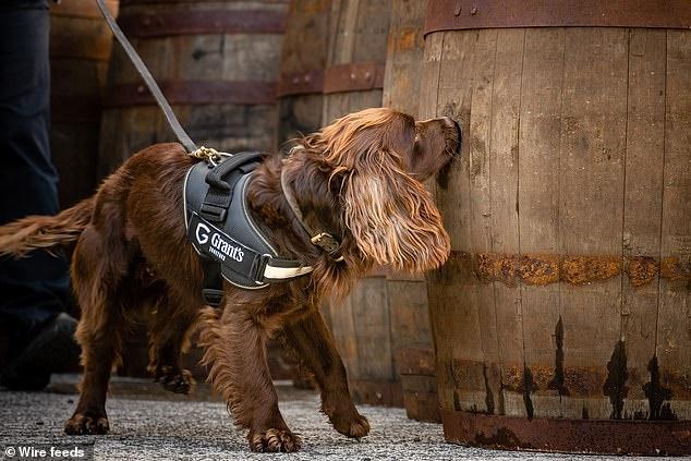"""汪!狗狗酒桶""""质检员""""出动,一切为了完美的威士忌!"""