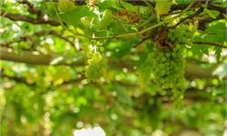 返鄉致富迎豐收!大學生種葡萄一畝故意減產6000斤:讓葡萄味道更好