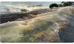澳大利亚洪水过境后:数百万只蜘蛛飞上天空 地面被厚厚一层蛛网覆盖