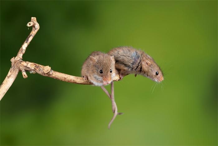 重磅!中国科学家成功让公鼠怀孕:顺利诞下10只健康幼崽,为全球首次