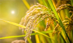 2021年中国稻谷行业进出口现状及出口市场格局分析 进口规模呈现逐年增长态势