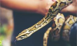 """绝活儿!蛇用它们分叉的舌头来""""闻""""气味,感受周围的环境超灵敏"""