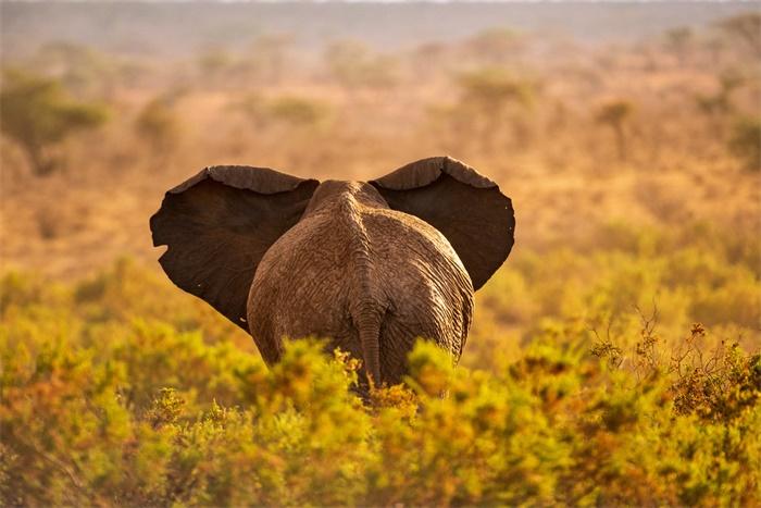 大象35万年里身高减半体重下降近85%