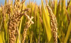 """子承父志!袁隆平儿子接棒""""袁梦计划"""" 要在盐碱地上种水稻20万亩"""