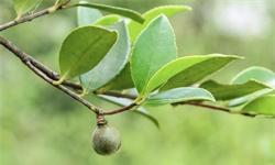 2021年中国茶油行业供需现状、市场规模及发展趋势分析 行业将创新发展