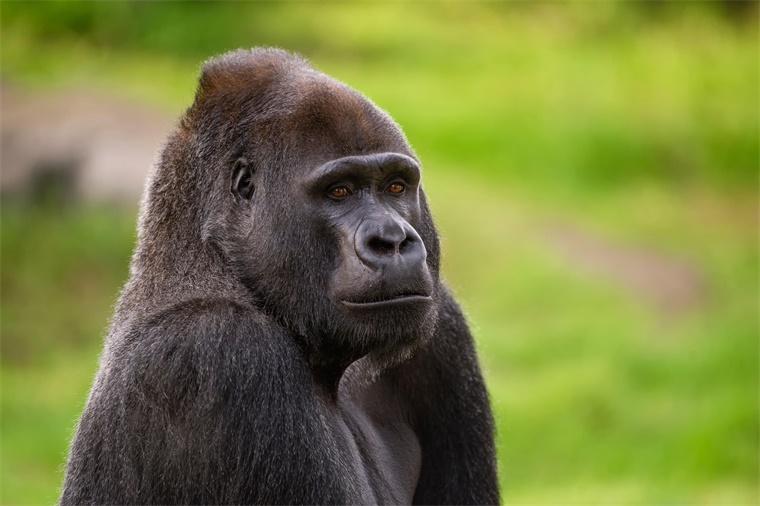 反常!黑猩猩首次被发现联合攻击并杀害大猩猩,一只遇难者险被生吞活剥