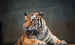 55只到300只!全球下一个虎保护的热点区域将会在中国
