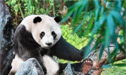 注意!這幾個山頭的熊貓有危險,15個種群的滅絕風險高于90%