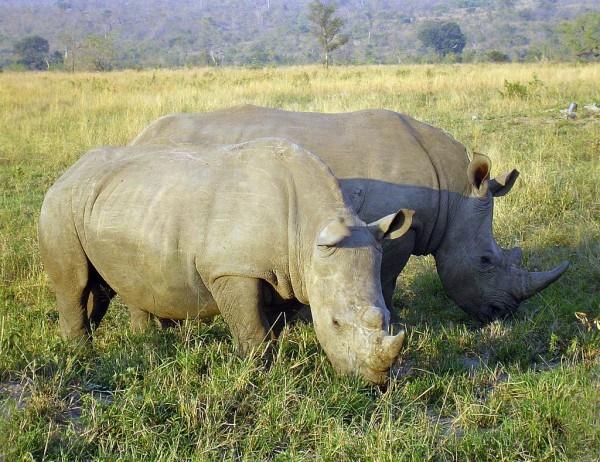 犀牛要灭绝了?对五个现存犀牛物种的基因组分析有望拯救它们!