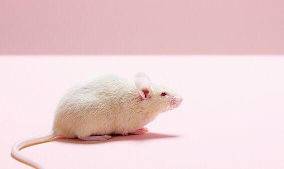 """小鼠聪明起来跟人一样,在迷宫中找水喝时经常""""灵机一动""""!"""
