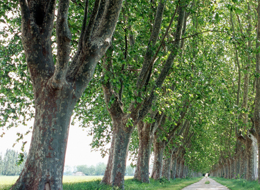 一项长达10年的研究:杨树林为适应环境改变遗传结构,最终在树群内维持多样性