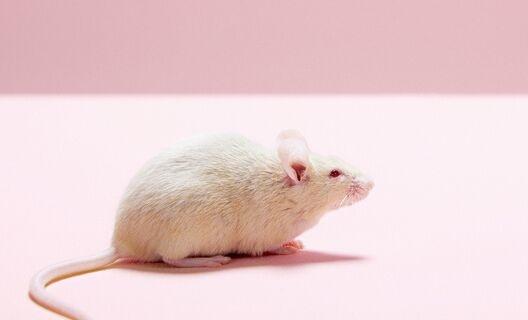 精子再造!日本科学家利用多能干细胞制造健康精子 让小鼠成功产下后代