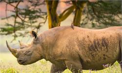 犀牛的交配事故:第一次約會發生追逐,雌犀牛不幸溺水身亡