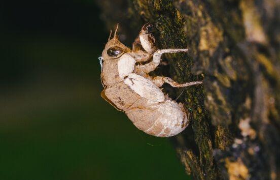 蝉是如何躲过熊熊野火?藏在土壤里,用尿液造房子!