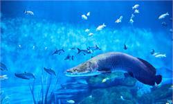這種魚在群體聚會時悠哉閑逛,在獨處時卻使勁偽裝,這是為什么?