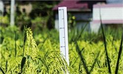 """浙江建德袁隆平生態水稻種植基地:1.8米""""巨型稻""""喜迎豐收!"""