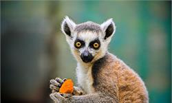 """馬達加斯加一種""""會唱歌""""的靈長類動物:有和人類一樣的樂感,外形似狐貍"""